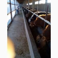 Бычки откормленные, коровы дойные всегда в наличии