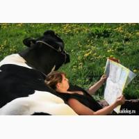 Куплю молочную молодую корову для семьи проживающей в фархорском районе