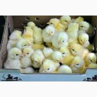 Суточные цыплята бройлеры