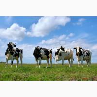 Продажа племенных нетелей молочных пород КРС Голштинизация от 80%