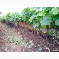 Саженцы виноградной лозы из Сербии