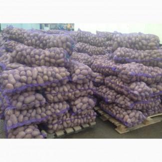Картофель оптом. Молодой со склада КФХ