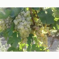 Продам виноград разных сортов, оптом
