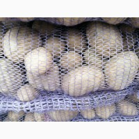 Картофель беларусский
